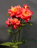 Joey Boy mini rose 01