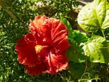 hibiscus Sun Shower 06