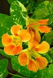 nasturtium blossoms 03