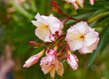 oleander 04