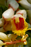 shell ginger blossoms 03