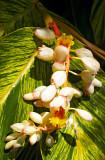 shell ginger blossoms 04