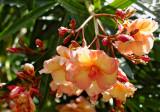 oleander 03s