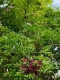 wisteria 18