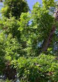 wisteria 19