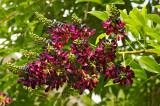 wisteria 23