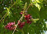 wisteria 24