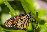 monarch butterfly 32