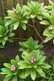 frangipani blossoms 11