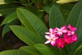 frangipani blossoms 14