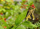 giant swallowtail 09