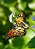monarch butterfly 42