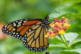 monarch butterfly 48