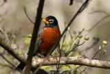 Dogwood Robin