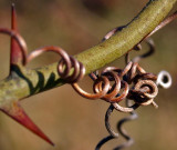 Squiggle Thorns