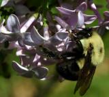 Lilac & Bumblebee