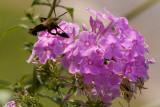 Hummingbird Moth (2 of 4 photos)
