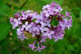 Lilac Heart