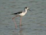 Black-winged Stilt, juvenile