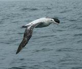 Gibson's (Wandering) Albatross