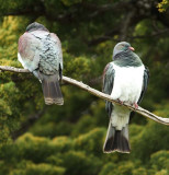 New Zealand Pigeons