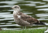 Southern Black-backed Gull, immature