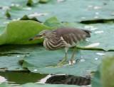 Pond-Heron