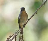 Slaty-backed Flycatcher, female