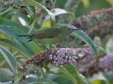 Mrs Gould's Sunbird, female