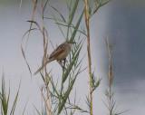 Striated Grass Warbler