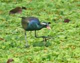 Bronze-winged Jacana