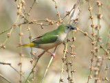 Pin-tailed Parrotfinch, female