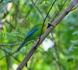 Blue-winged Leafbird, male