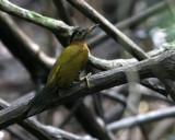 Streak-breasted Woodpecker, fem