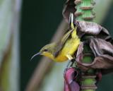 Olive-backed Sunbird, fem