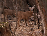 The First Time I've Seen a Large Buck With a Younger One