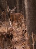 Healthy Big Buck