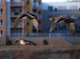 Mallards In Flight_filtered.jpg