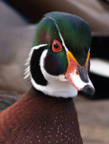 Woody the Woodduck