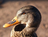 Mallard Hen Close Up Face.jpg