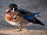 Scruffy Young Woodduck