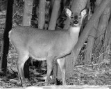 First BW Deer Photo