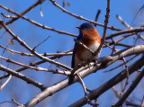 Eastern Bluebird2.jpg