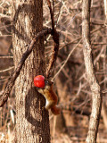 Crazy Red Squirrel.jpg