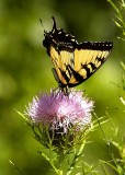 Tiger Swallow on Thistle
