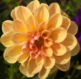 Yellow Flower With a Touch of Peach