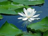 Interpretation of Evening Waterlillies