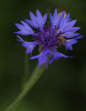 A Very Tiny Flower with a Very Tiny Bee