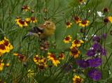 Gold Finch In the Garden
