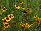 Female Gold Finch in the Brown-eyed Susans
